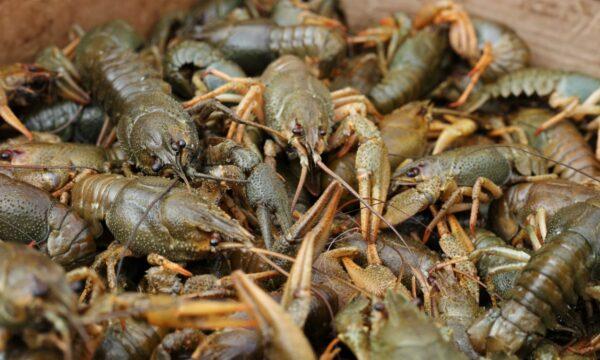 У Чуднівському районі на базарі виявили 6 кг «нелегальних» раків